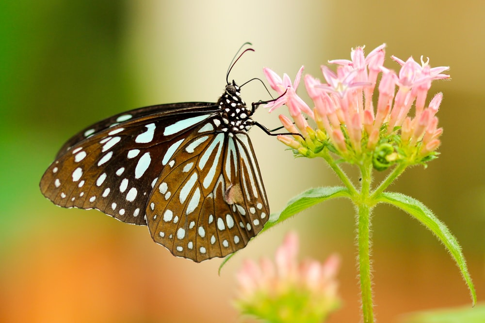 shallow focus photography of black and white butterfly on pink flower