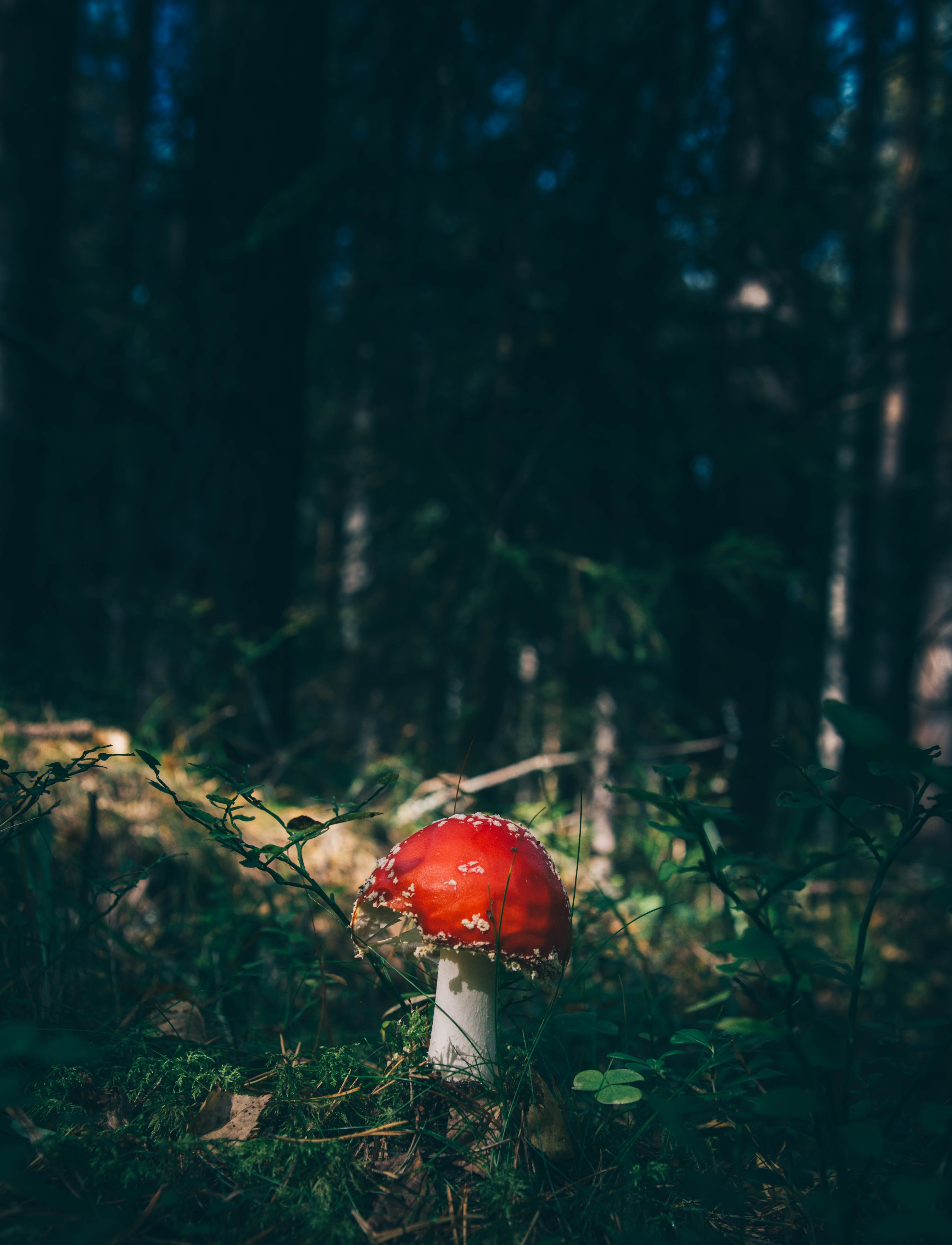 A bright red toadstool on the forest floor