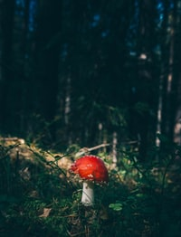 red cap mushroom surrounded by grass in forest