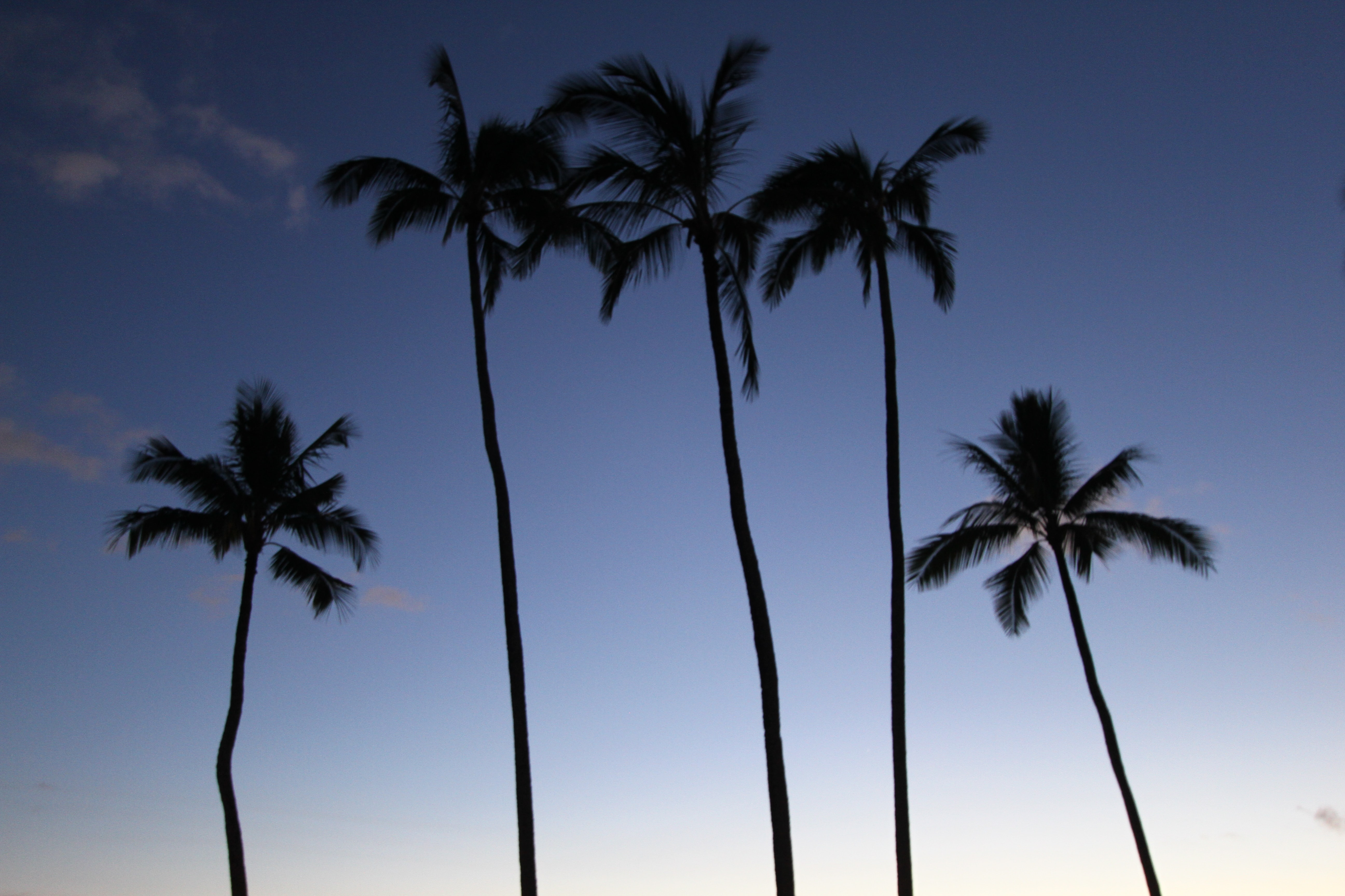 Large palm trees on a beach in Hawaii.