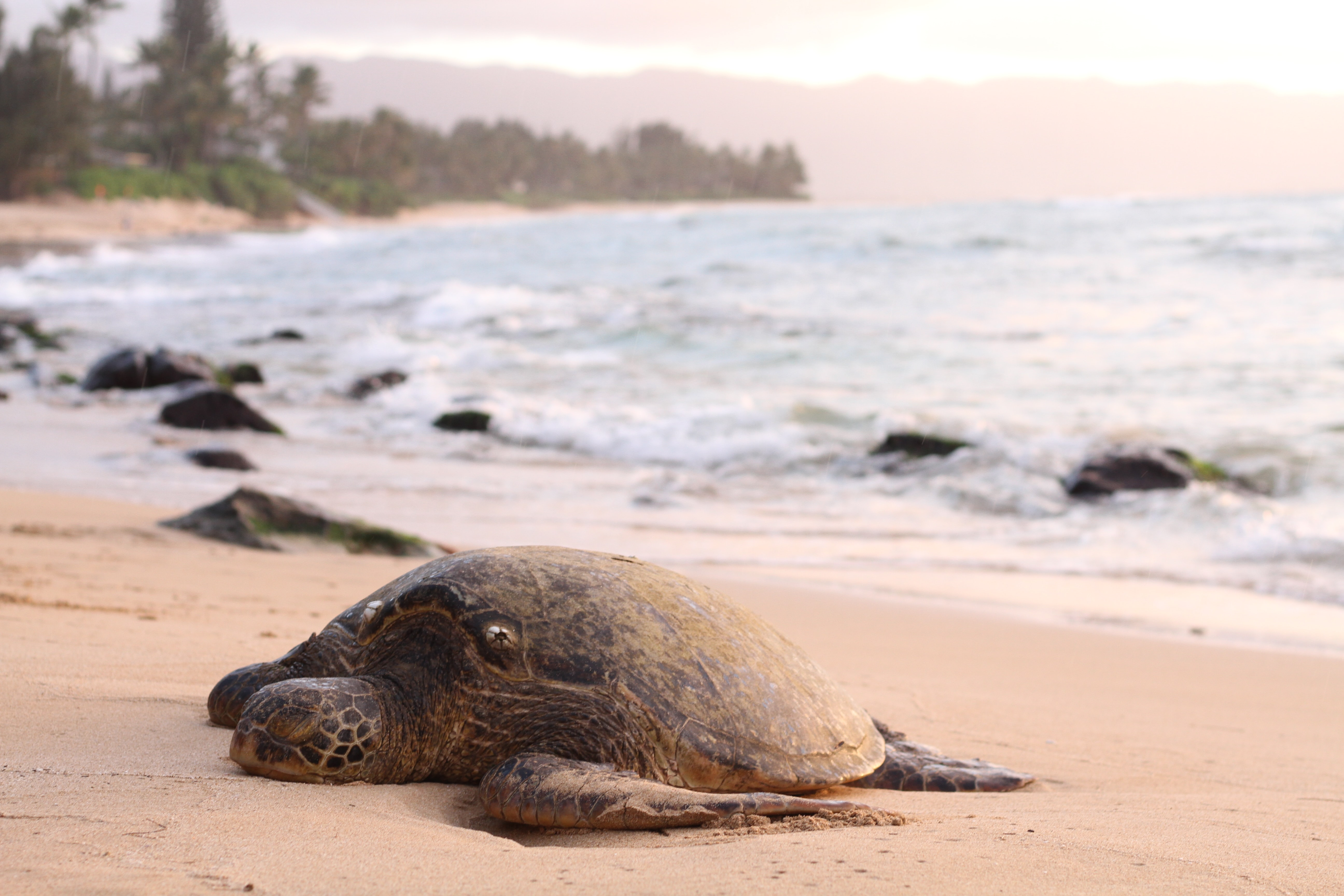 shallow focus photography of turtle lying on beach sand during daytime