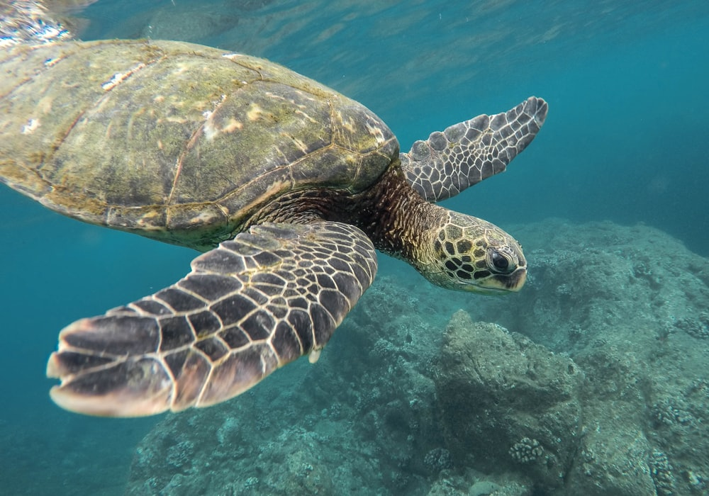 marine photography of turtle