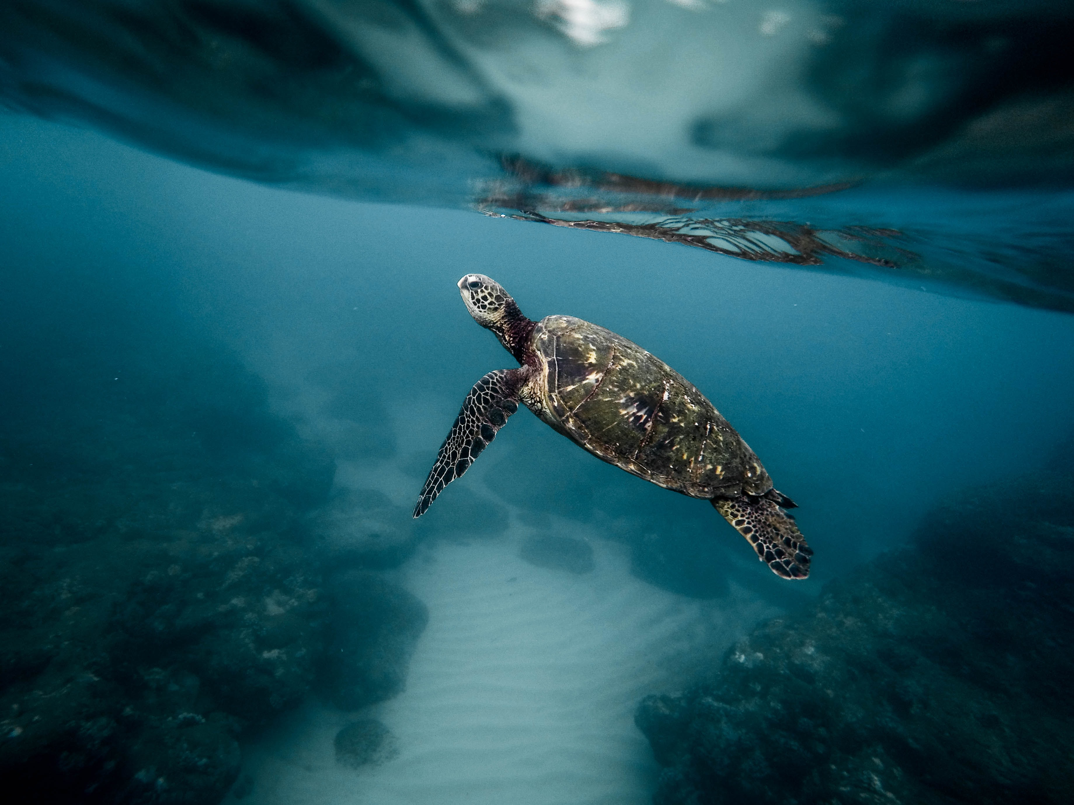 black turtle swimming on body of water
