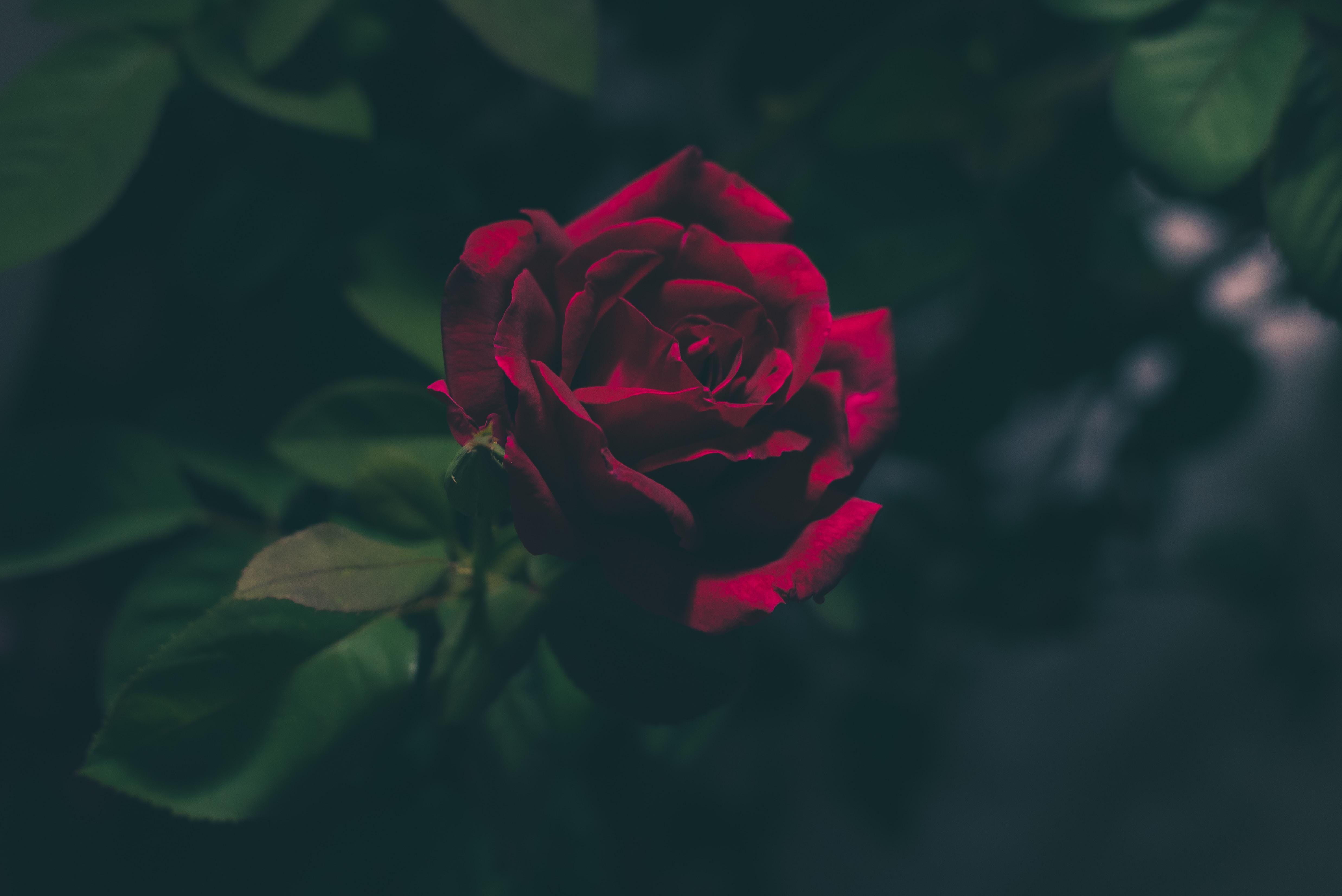 rosebud (sonnet) beauty stories