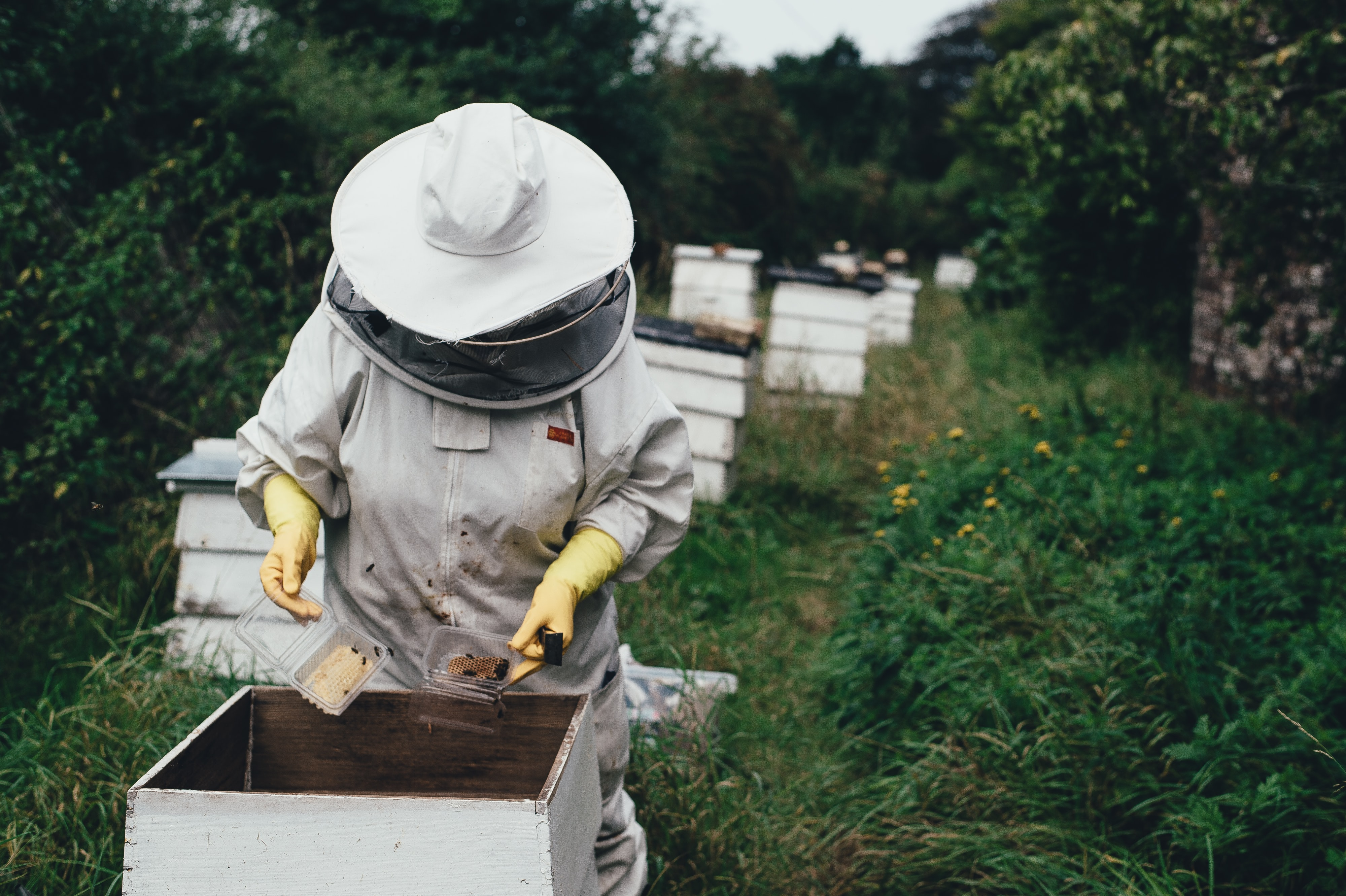 A beekeeper harvesting honey out of a beehive in Deans Court