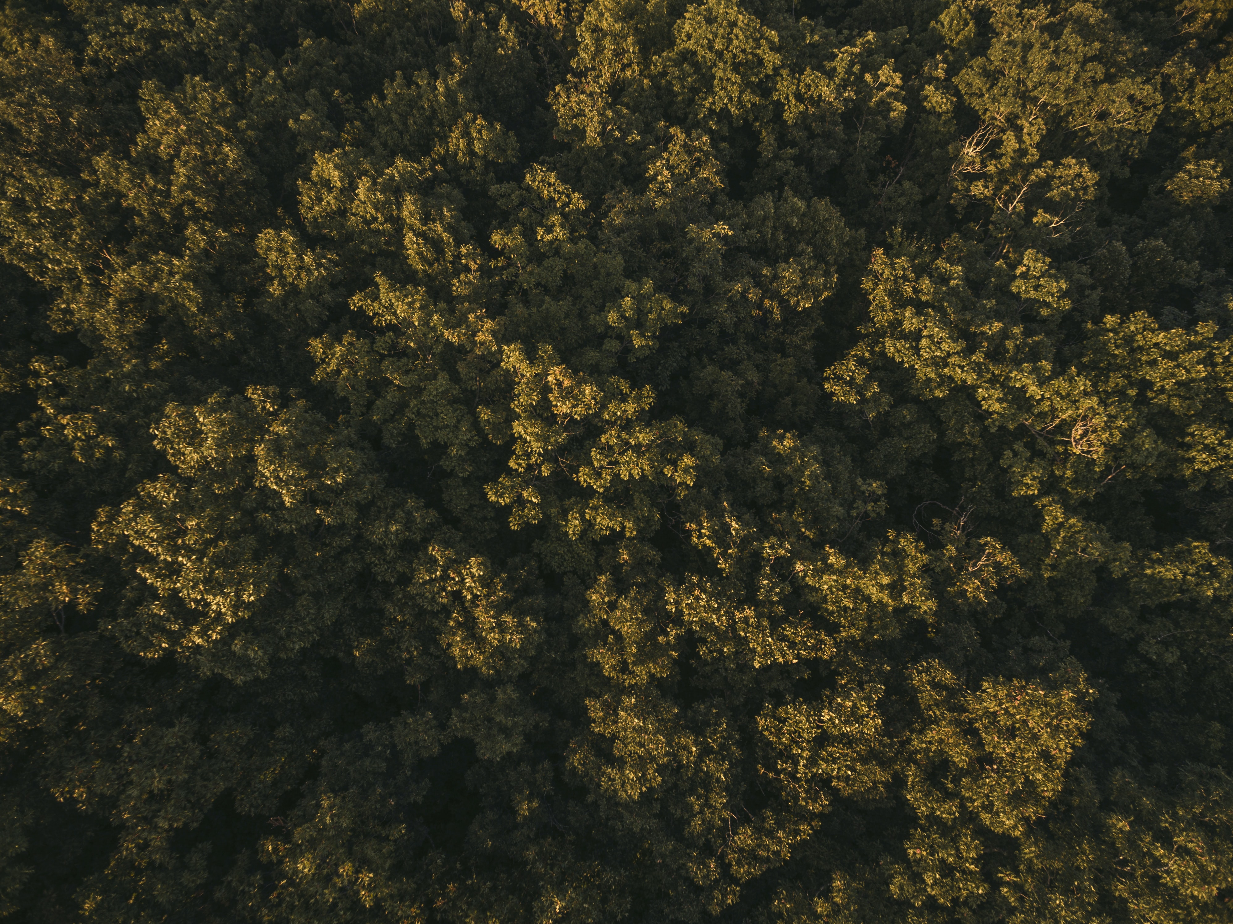 A drone shot of sunlit treetops in a forest in Arkansas