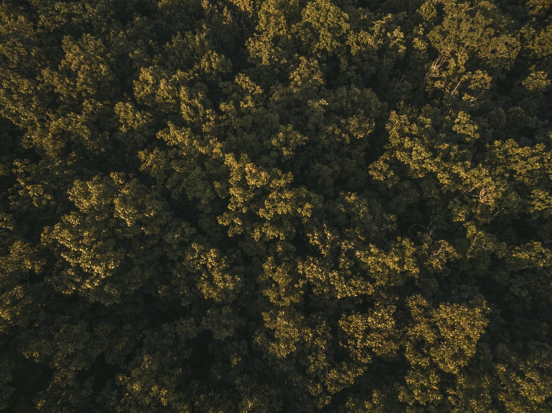 Sunlit treetops from above