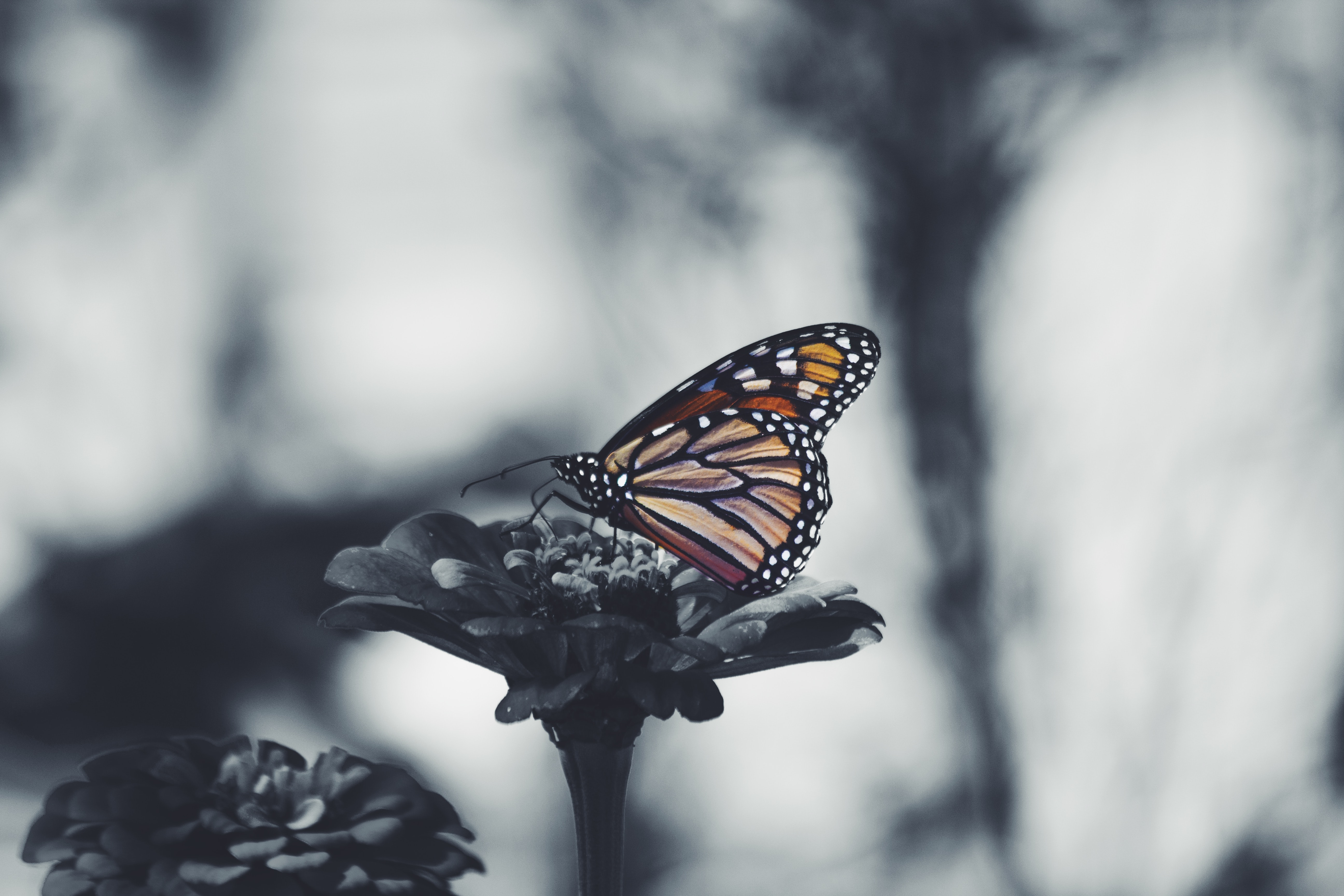 A desaturated shot of a monarch butterfly sitting on a flower