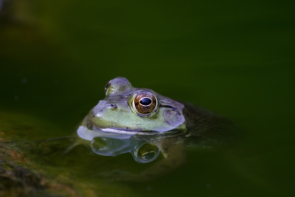 shallow focus photography of purple frog