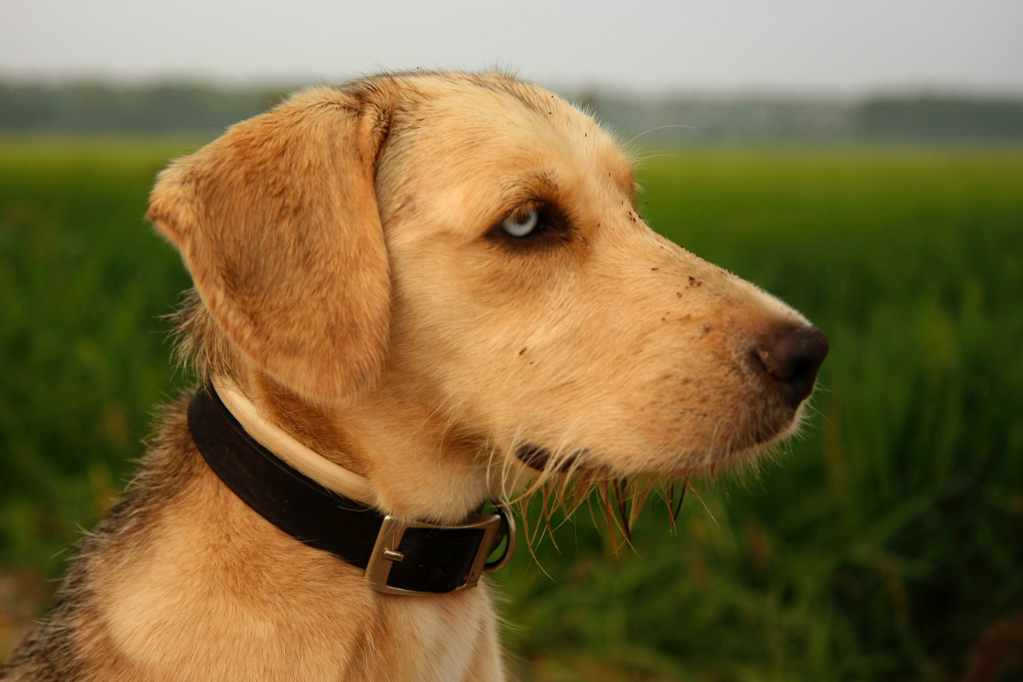 adult short-coated fawn dog