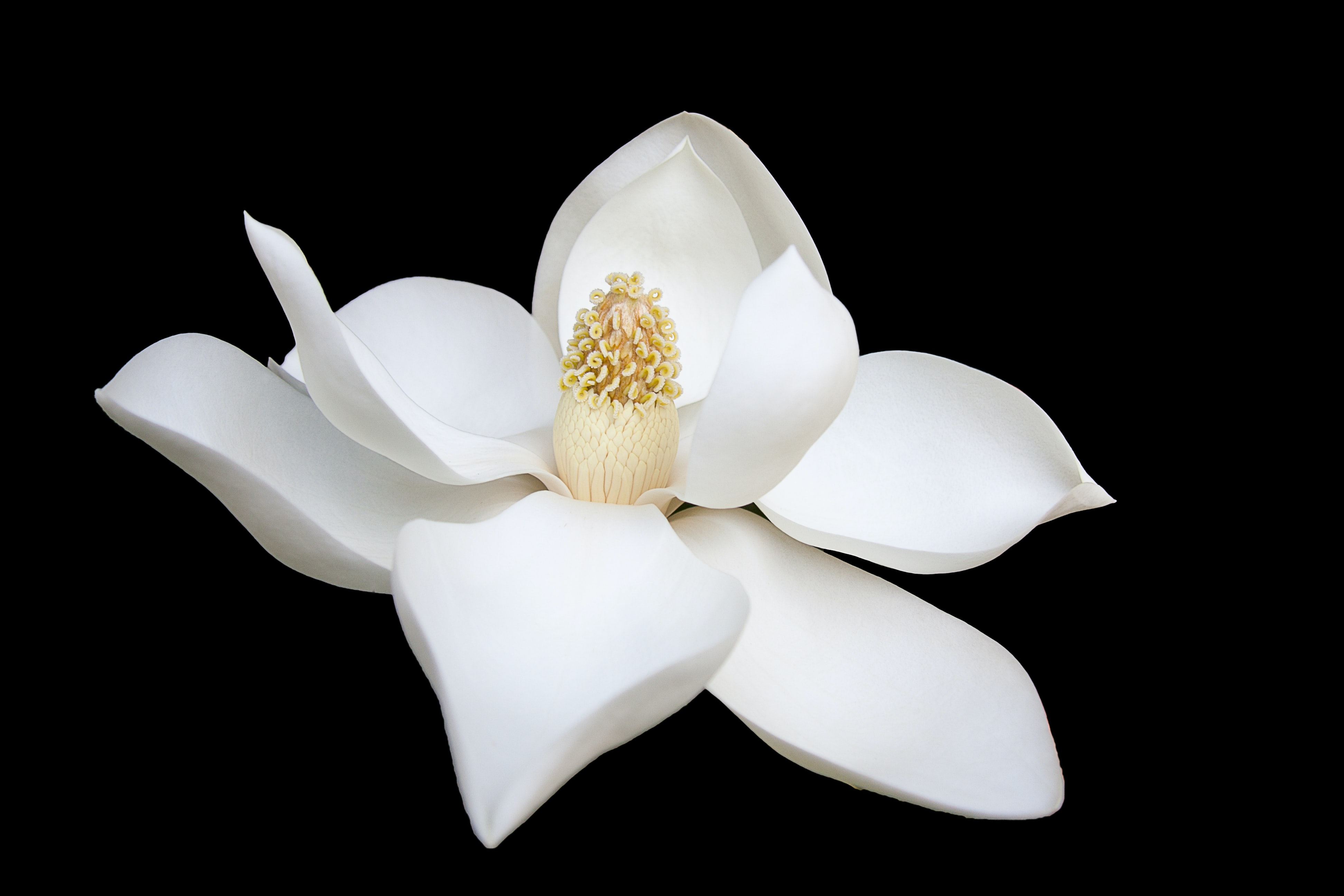 A macro shot of a snow white magnolia flower against a black background