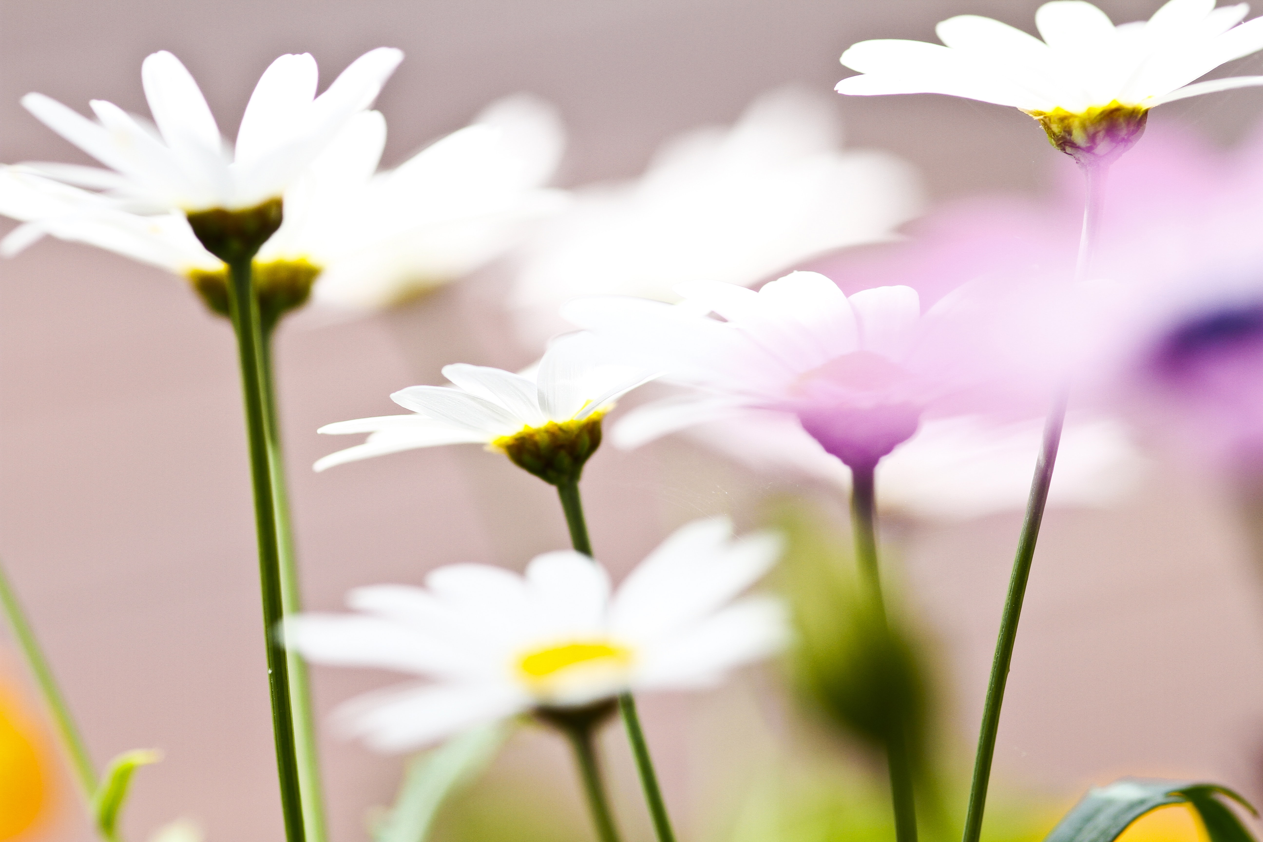 A low-angle shot of several white daisies