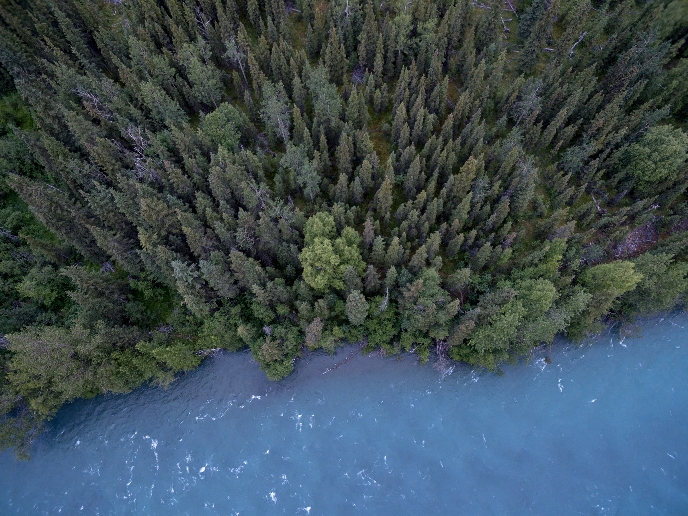 A drone shot of an evergreen forest on the shore of a blue lake