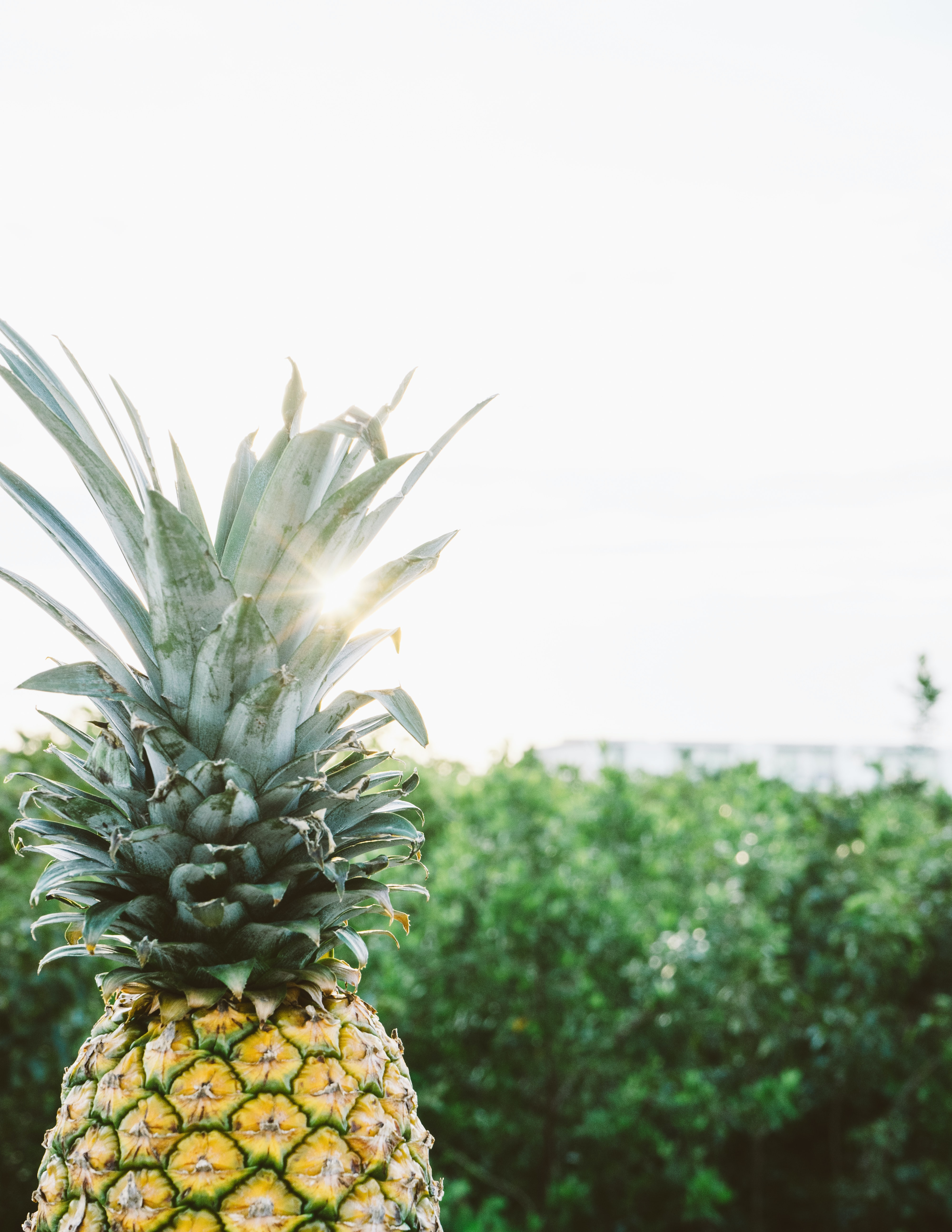 Pineapple with green top in front of a leafy garden