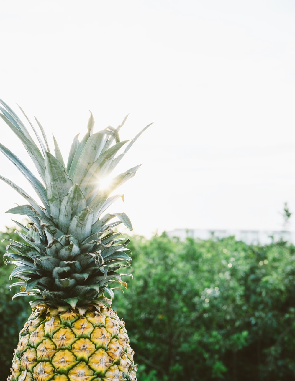 yellow and green pineapple fruit near trees at daytime
