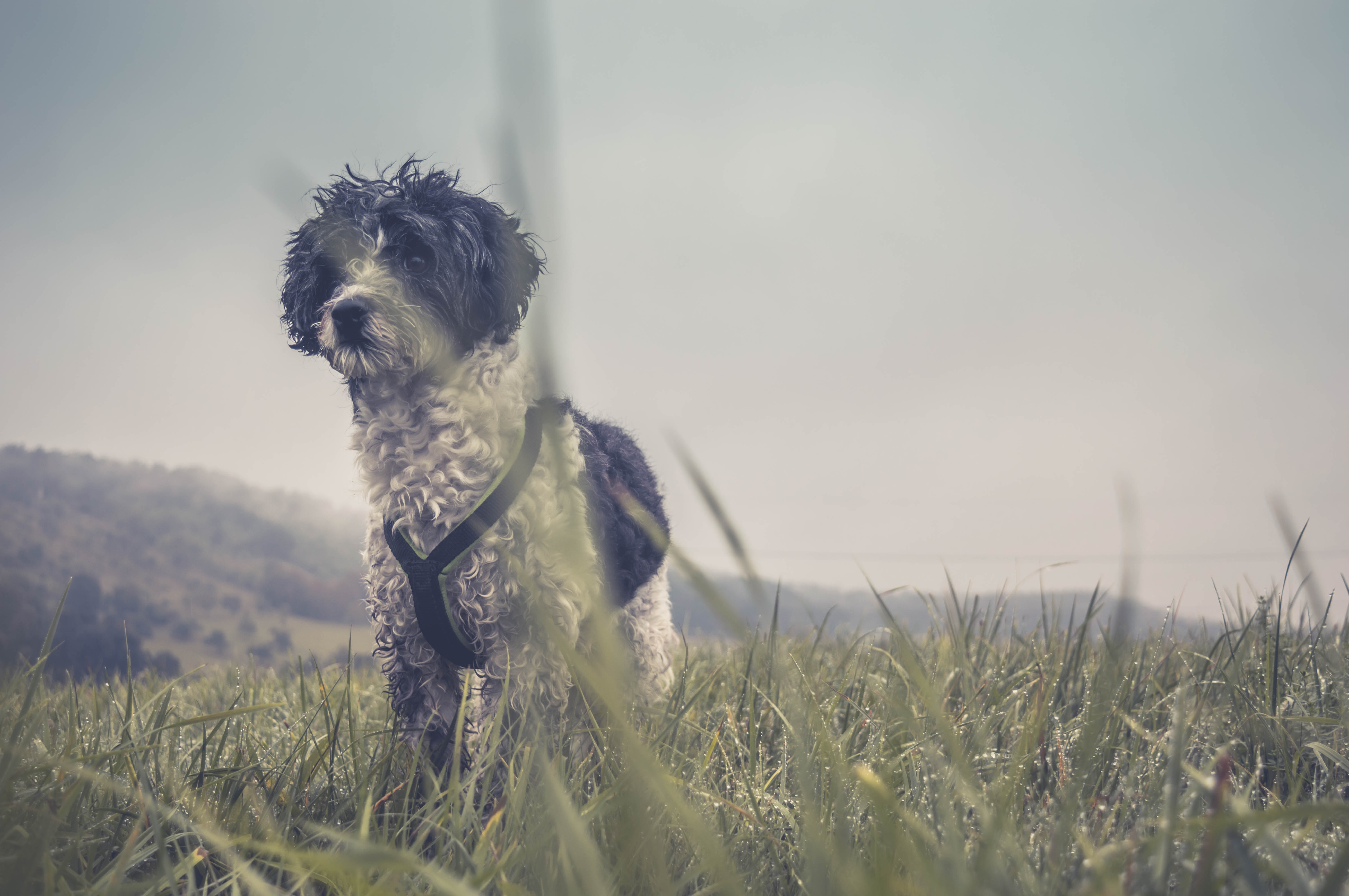 adult long-coated white and black terrier on grass field