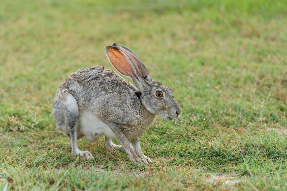 gray rabbit standing on green grass