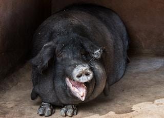 shallow focus photo of black pig