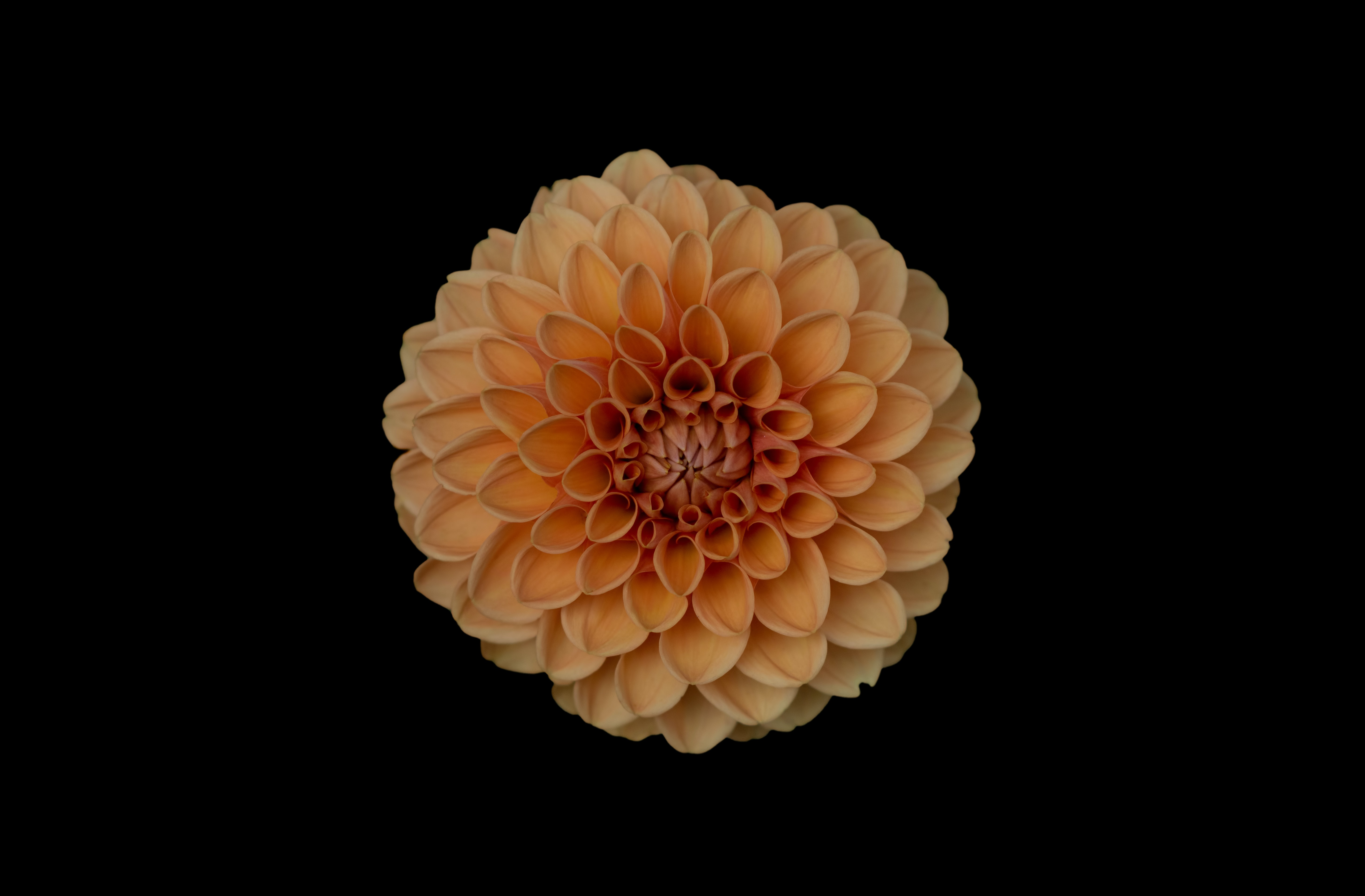 An overhead shot of an orange dahlia against a black background