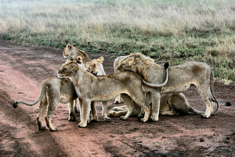 lion and lioness standing near green grass
