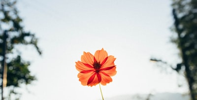 red petaled flower in closeup photography