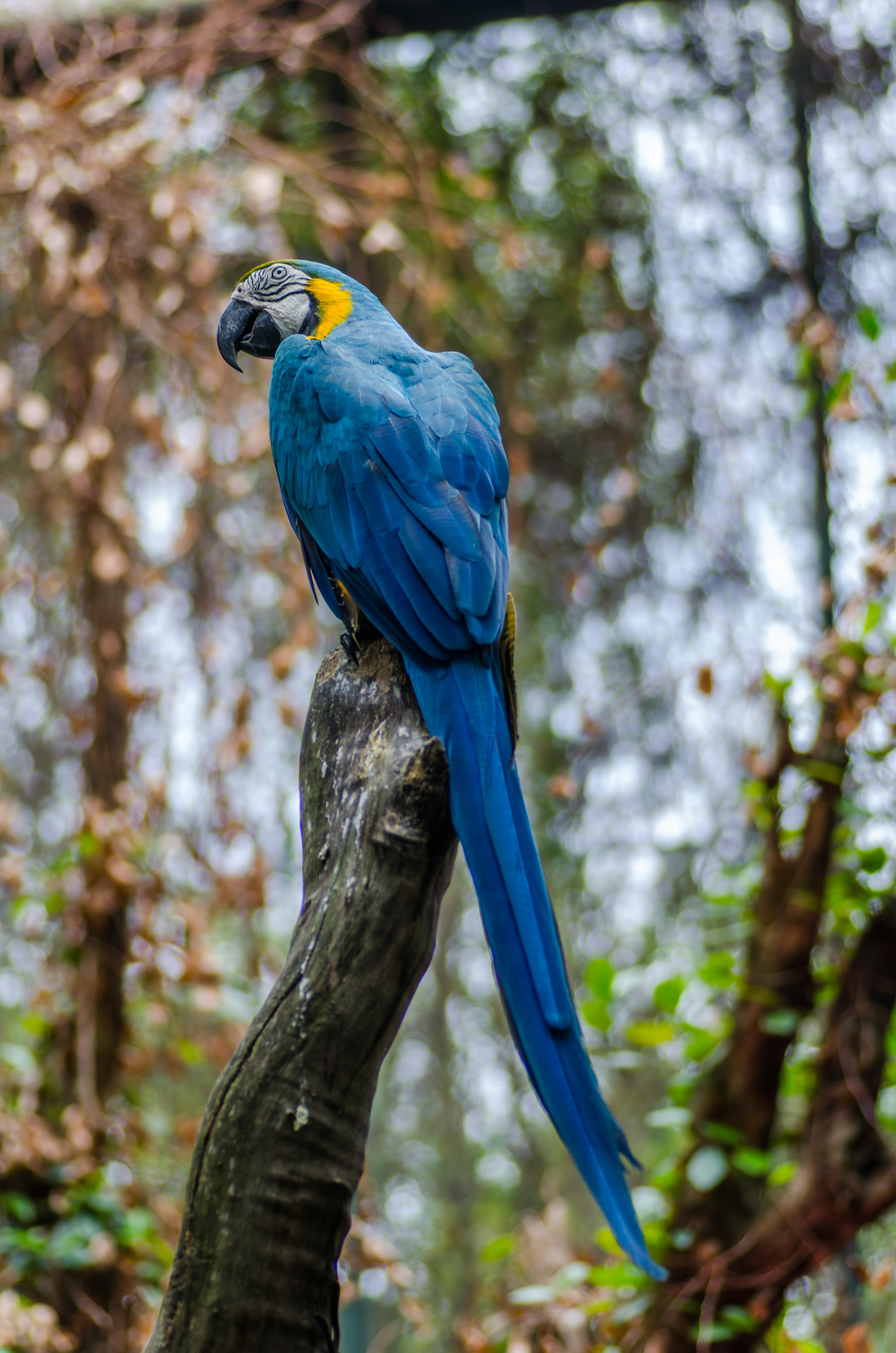 A blue macaw perched on a thick branch