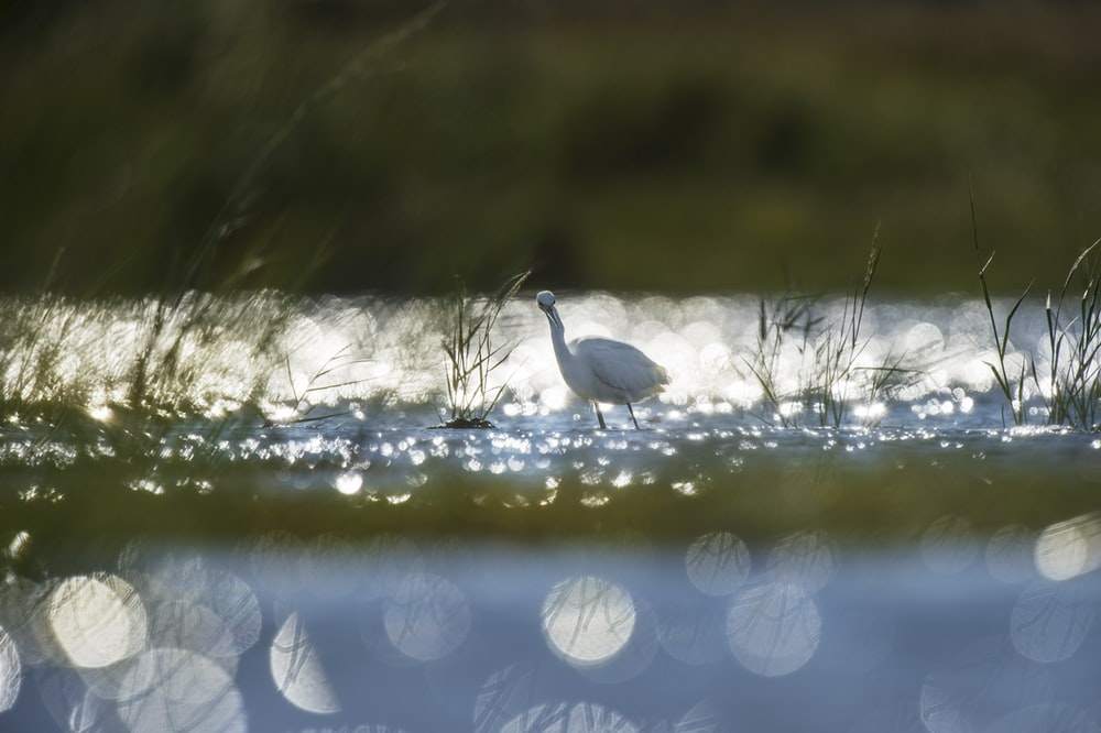 white bird on lake