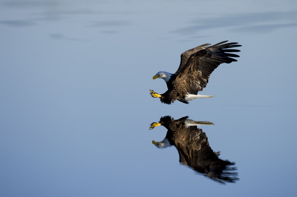 American bald eagle over body of water