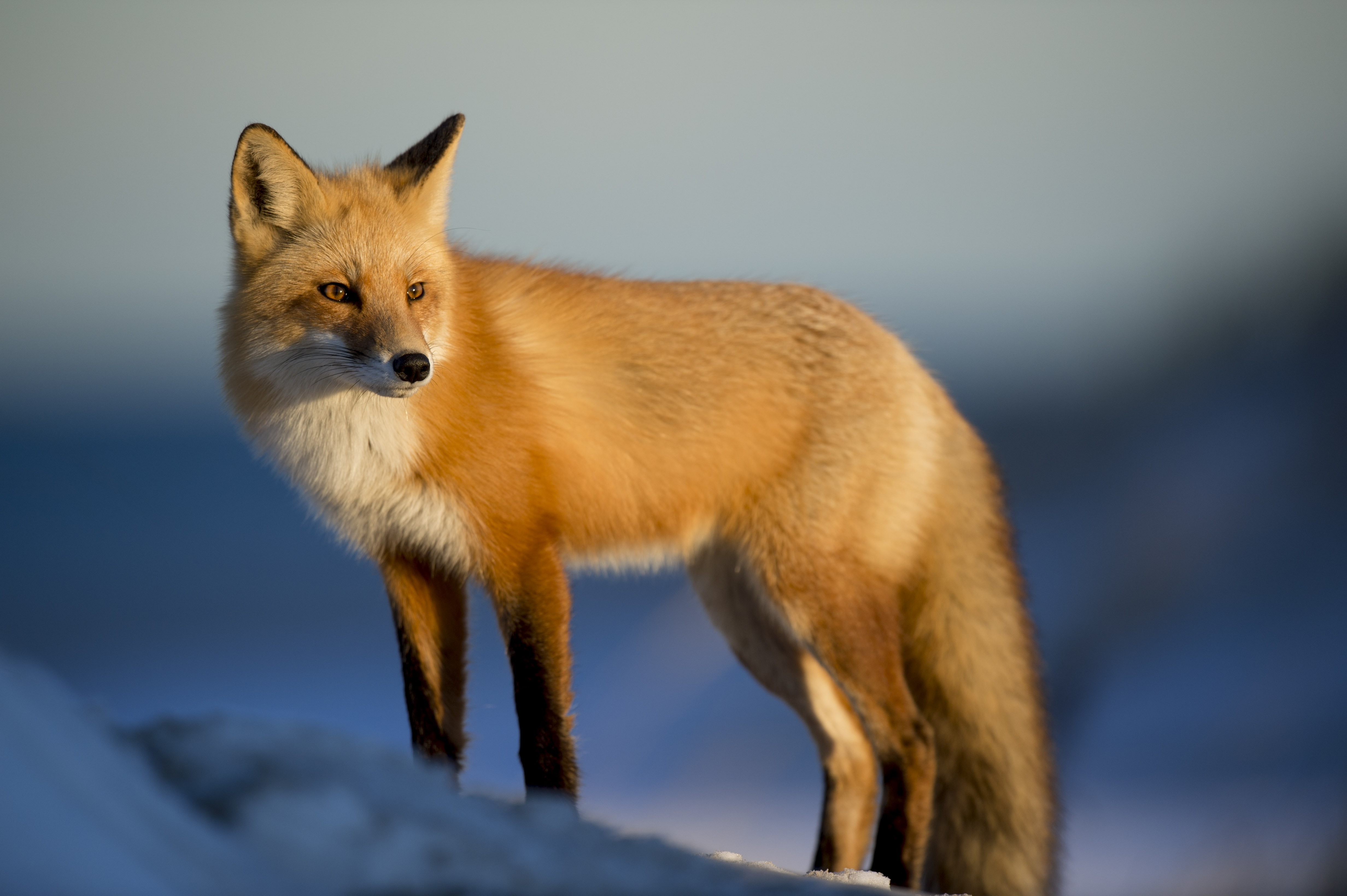 Wild red fox watches prey in the winter