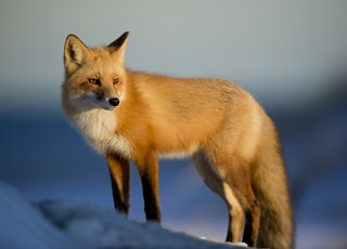 brown fox on snow field