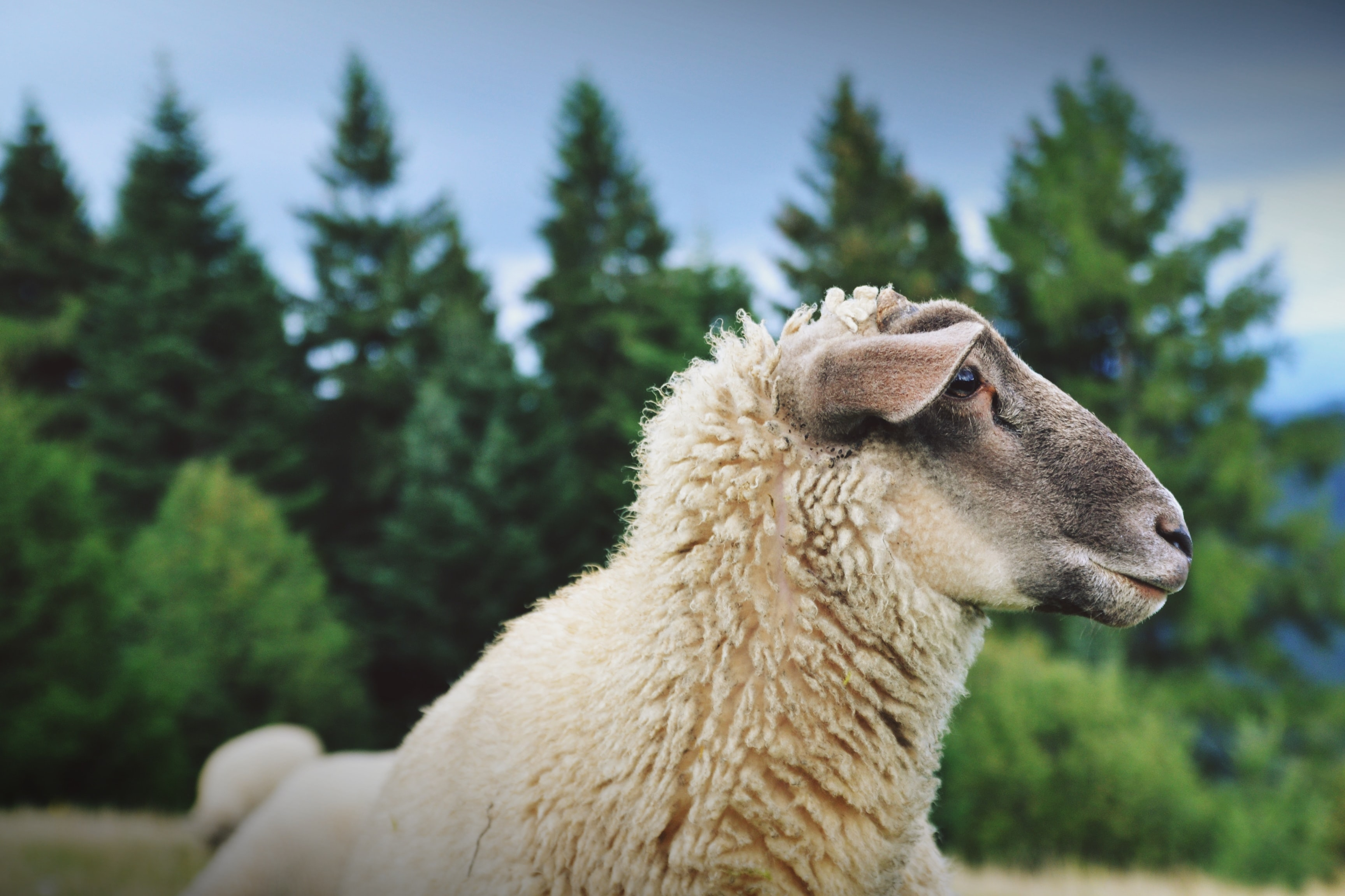 White sheep laying down in a meadow in front of pine tree forest