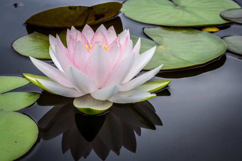rule of thirds photography of pink and white lotus flower floating on body of water