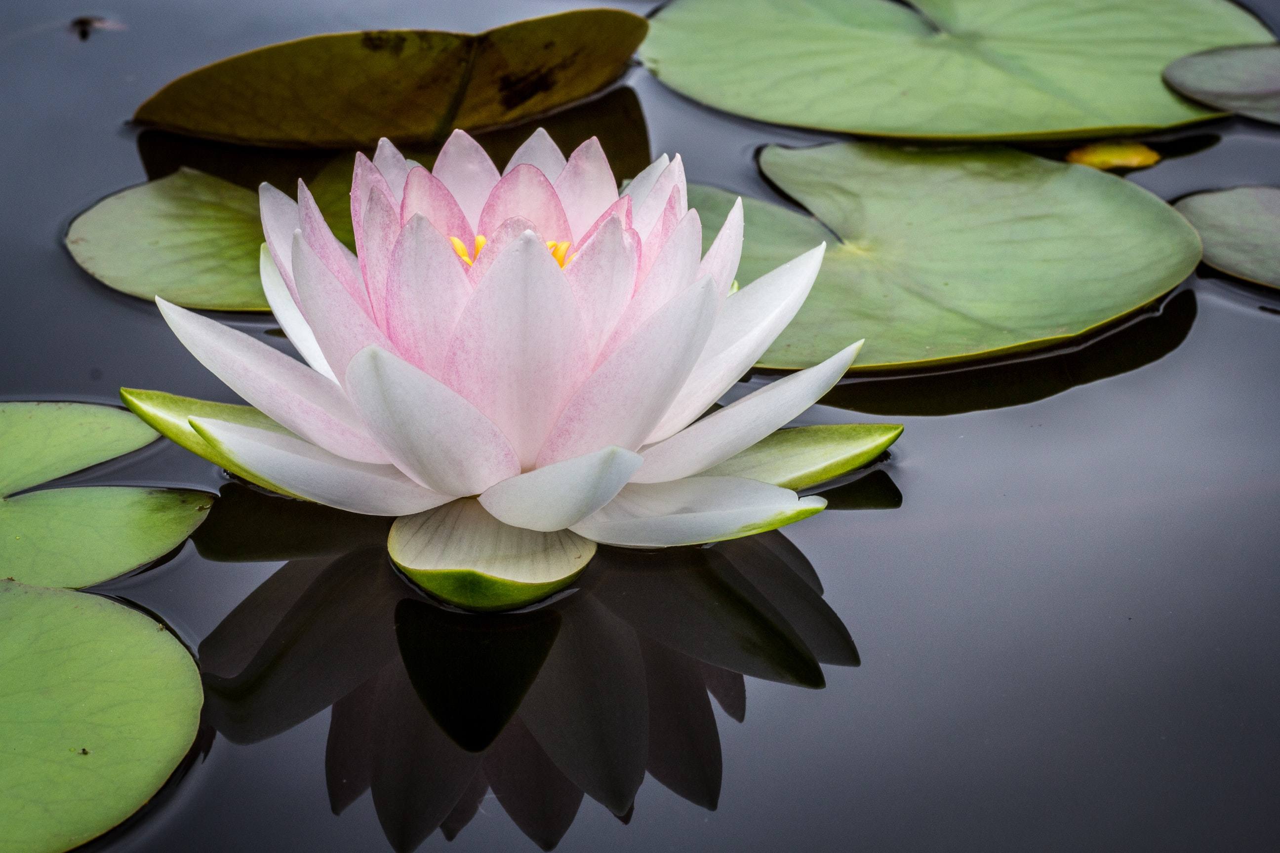 A white and pink water lily on the surface of water next to lily pads