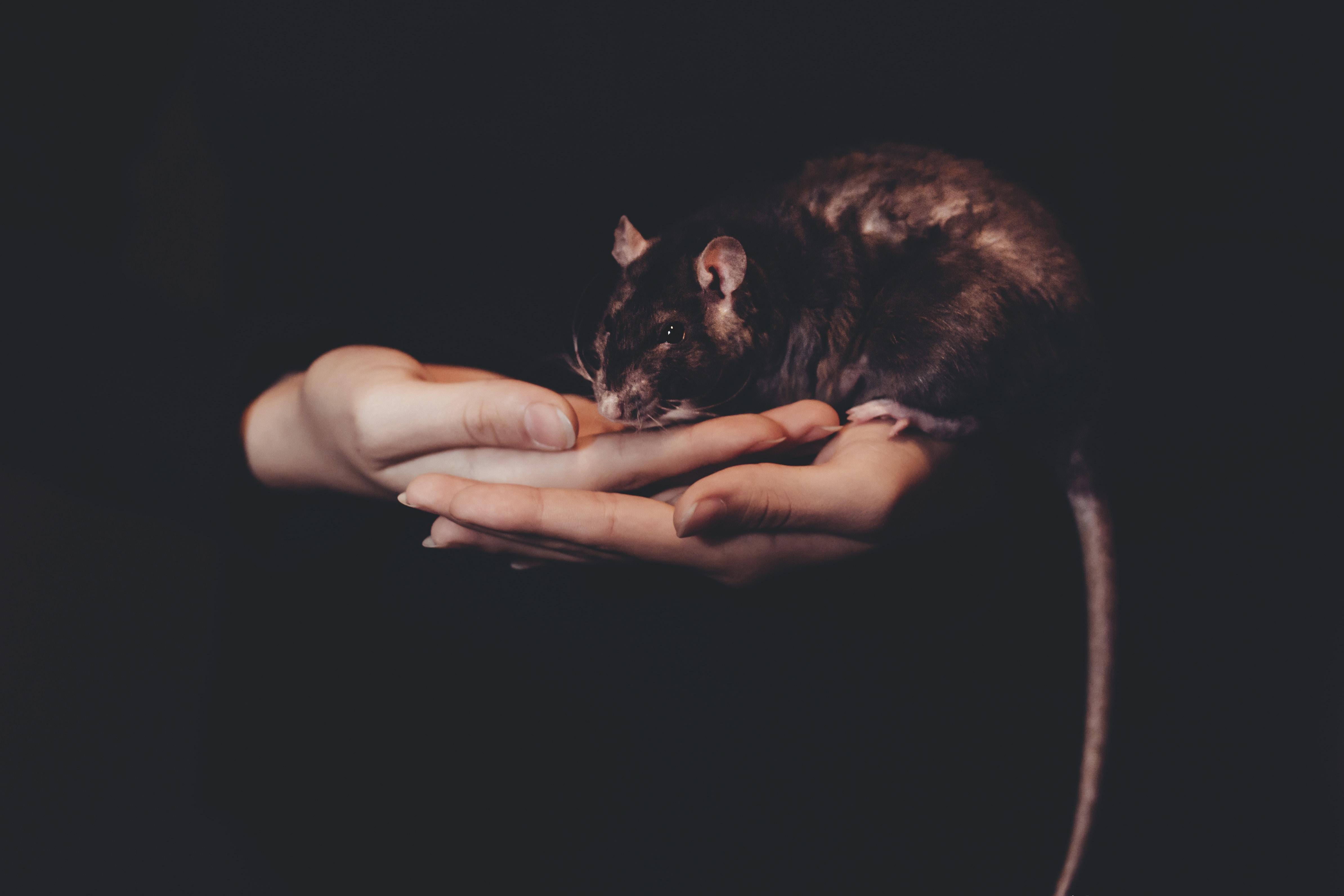 person holding black rat