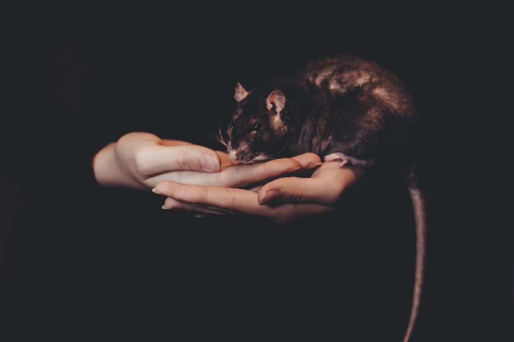person holding black rat