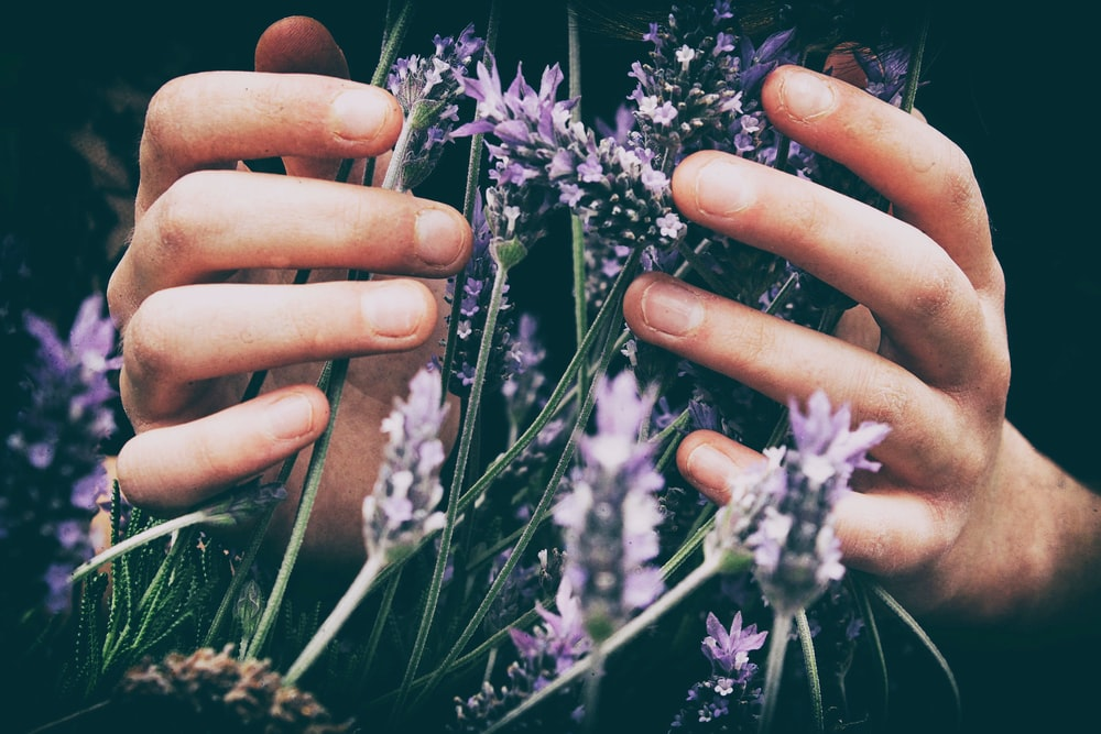Close-up of a person's hands touching wild lavender flowers