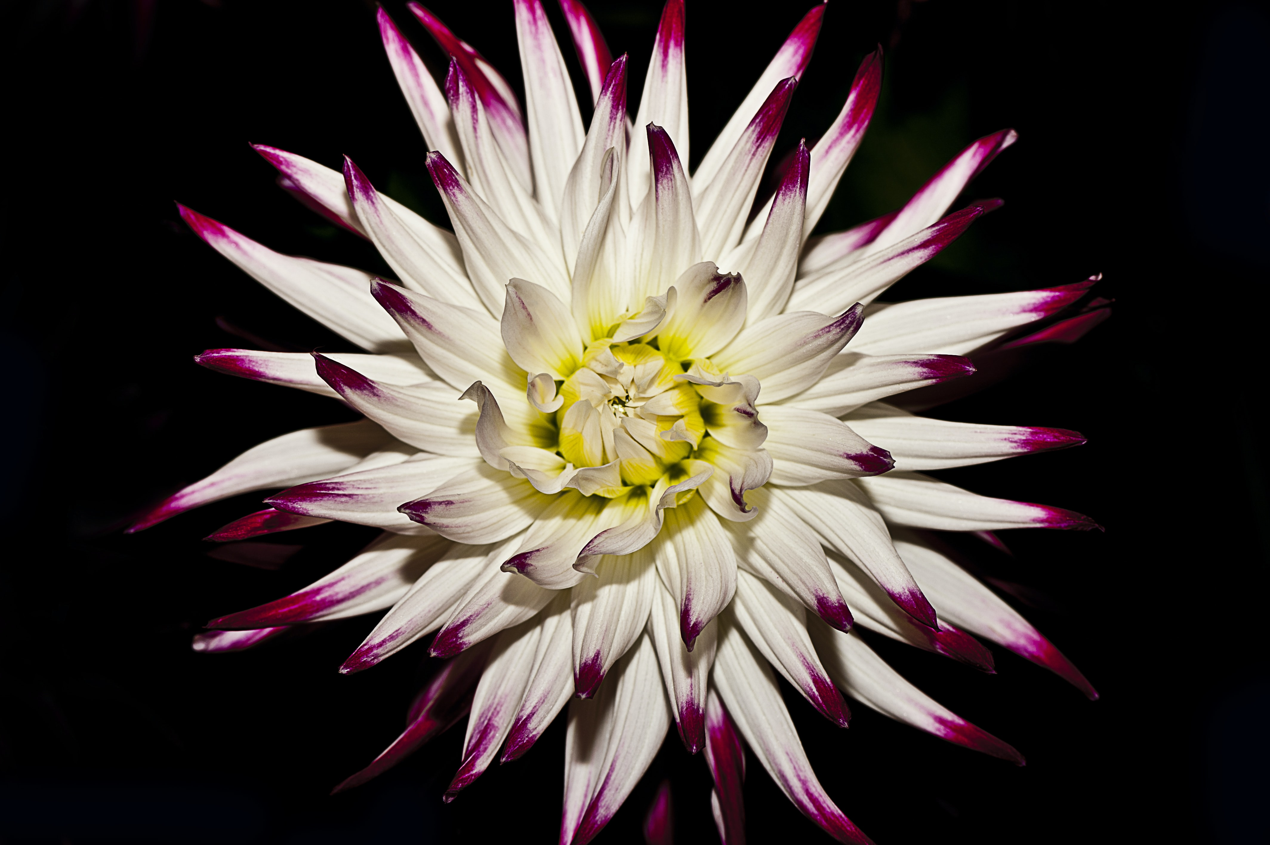 A beautiful white flower with purple spots at the tips of its petals
