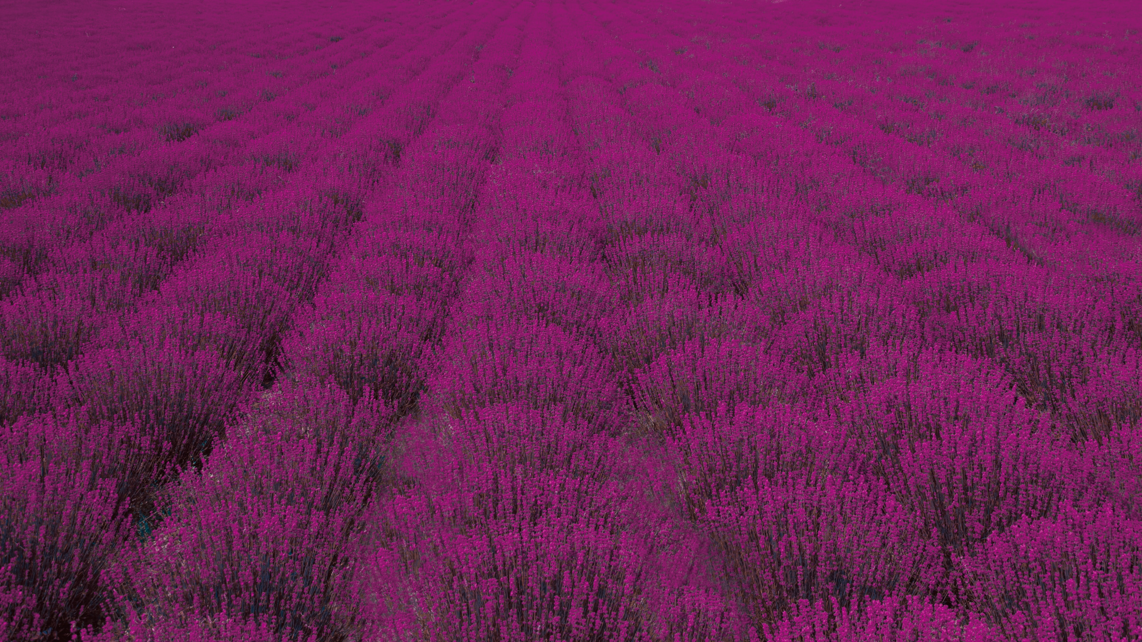 pink petaled flower field