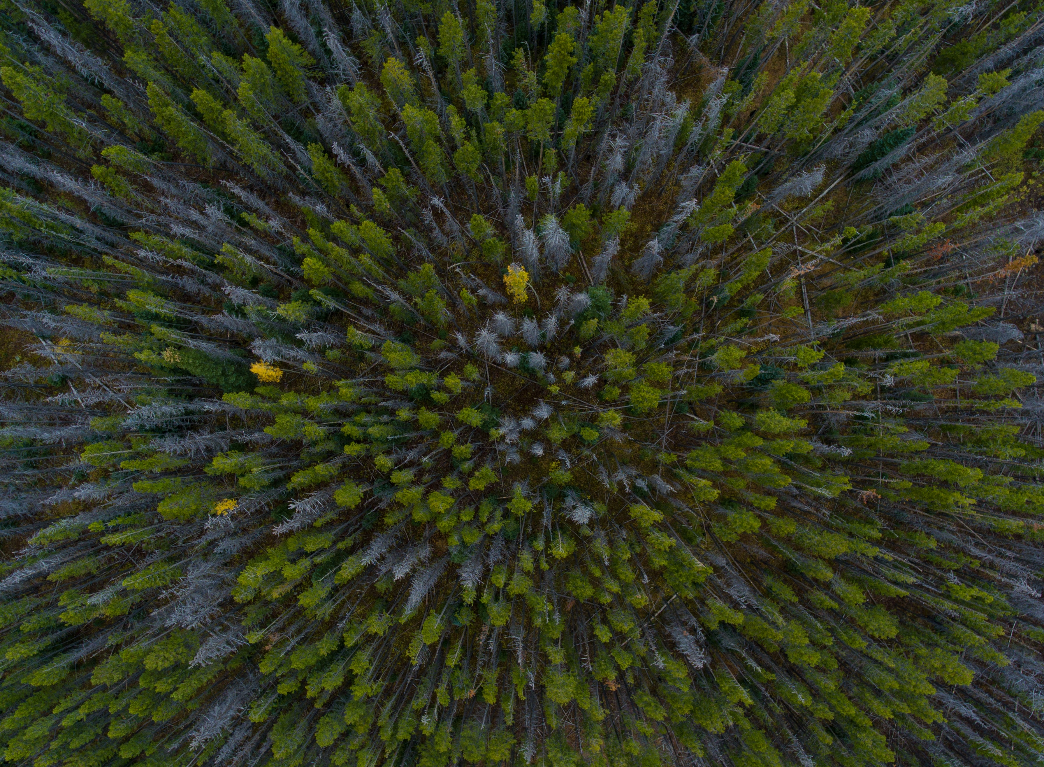 A drone shot of green and gray trees in a forest