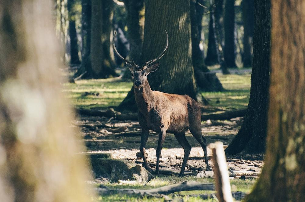 shallow focus photography of reindeer