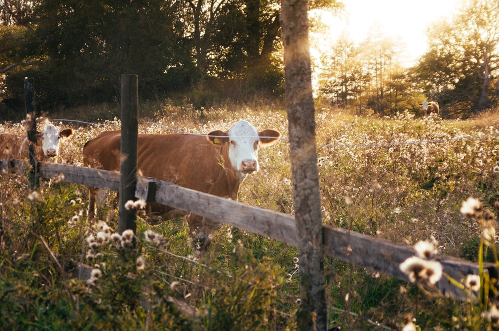 rule of thirds photography of brown cow