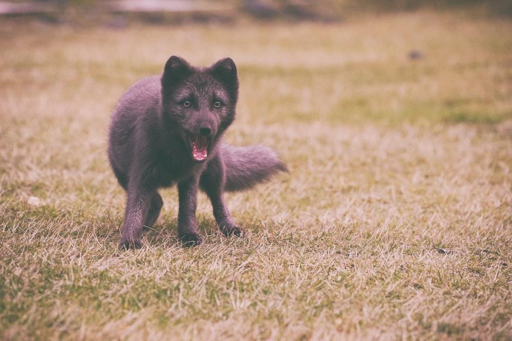 medium-coated black dog playing on green field
