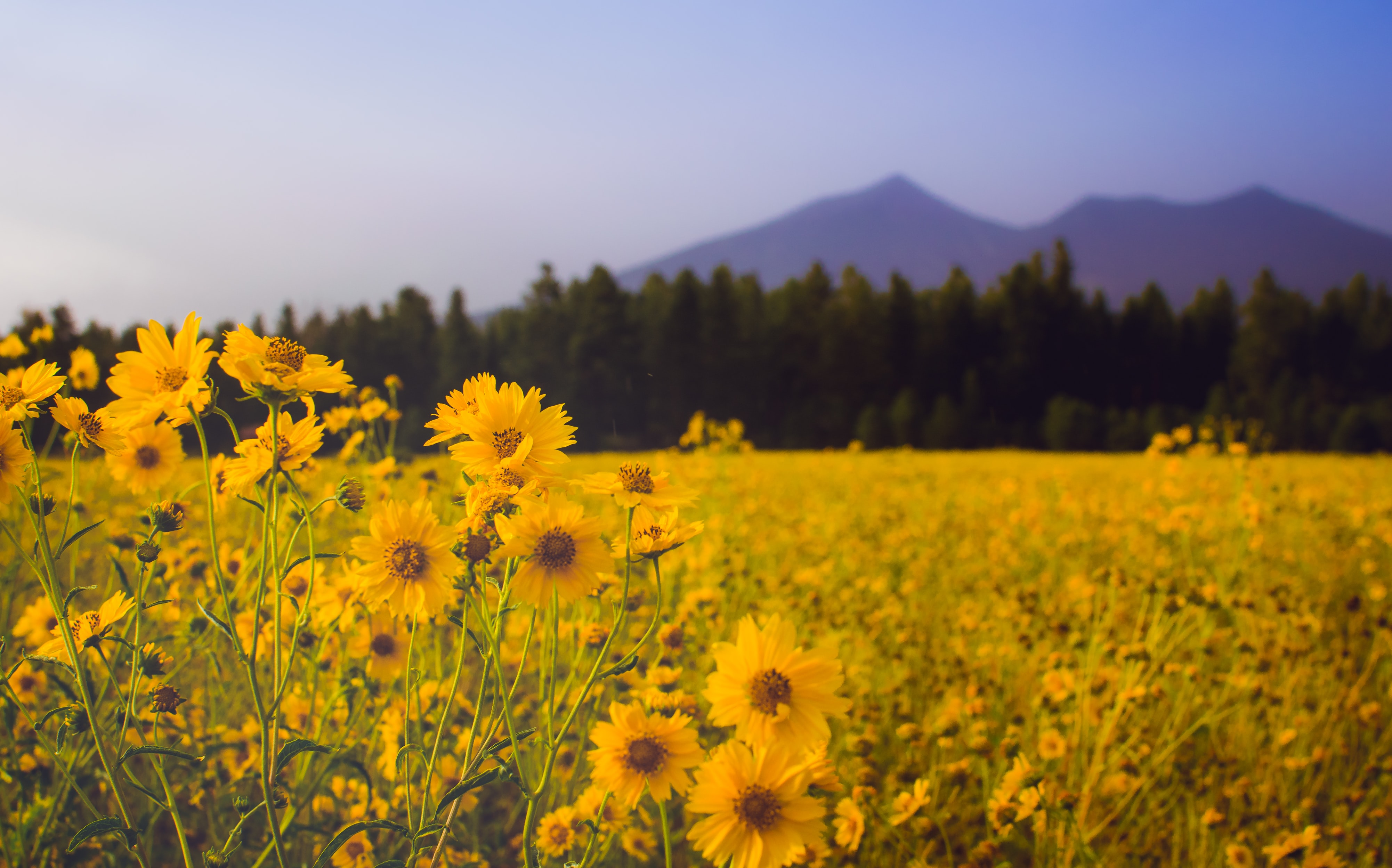 closeup photo of field of sunflowers