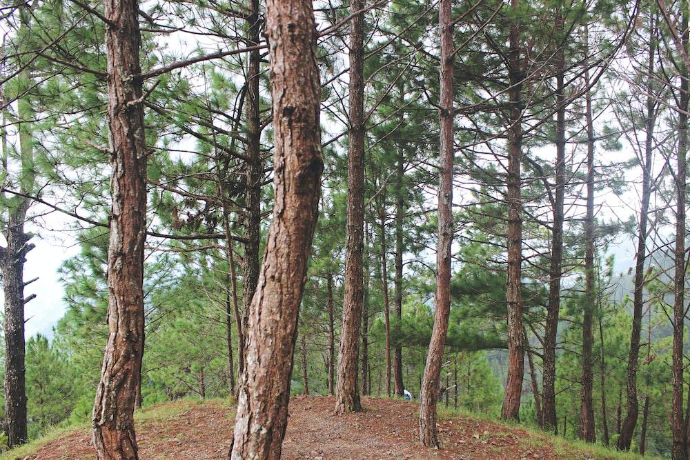 tall trees under calm sky