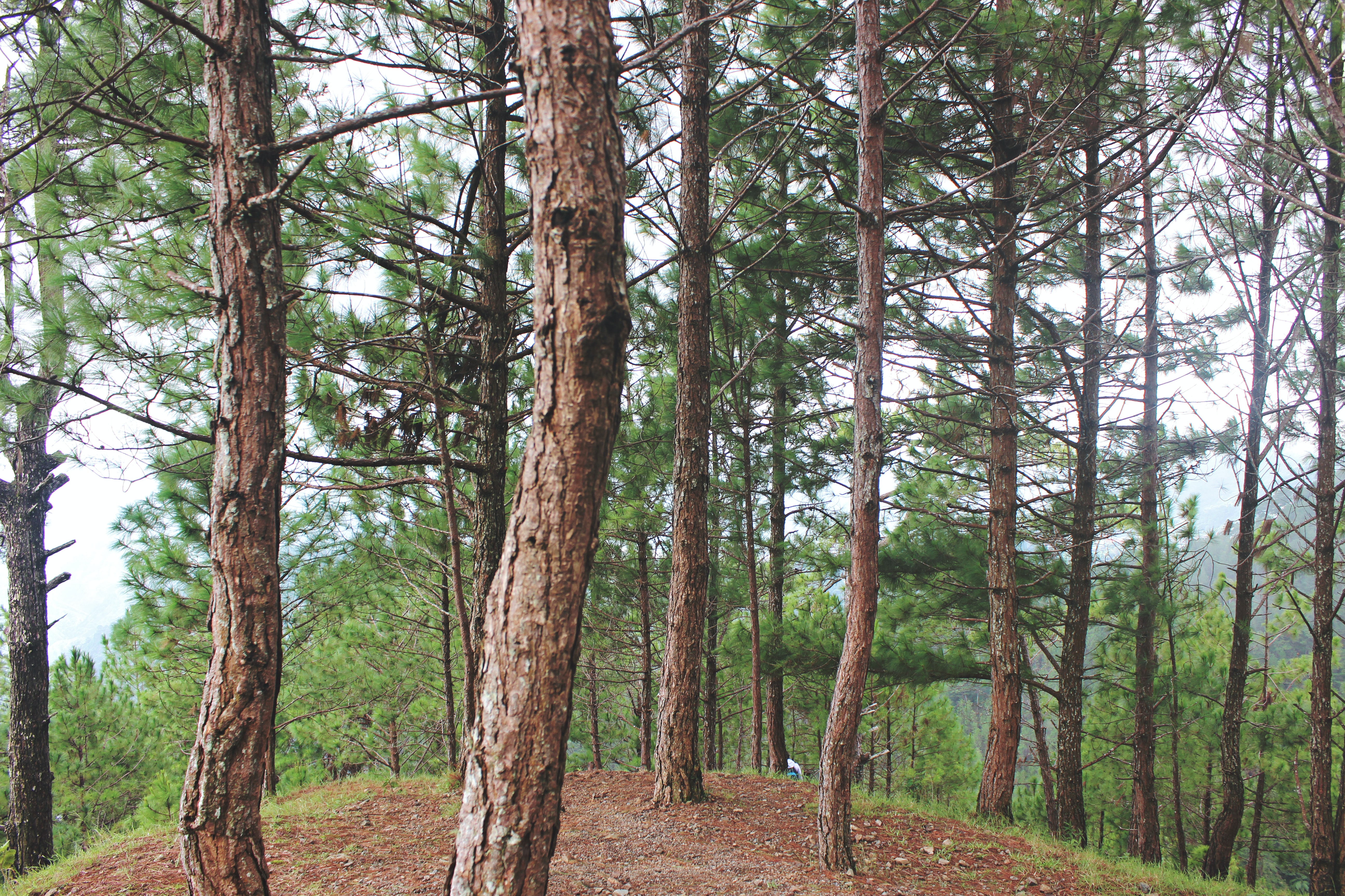 A group of evergreen trees on top of a small hill