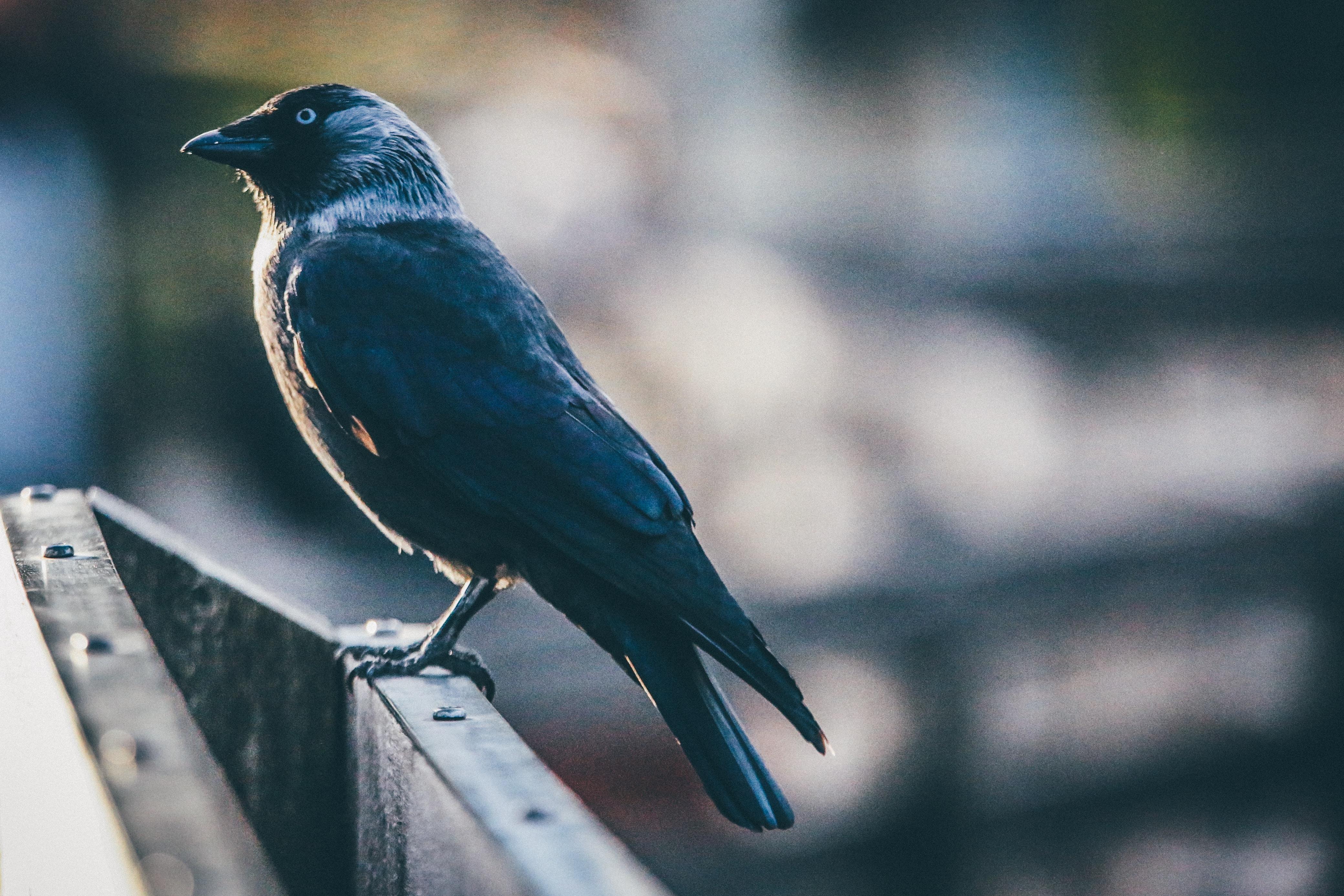 shallow focus photography of black bird