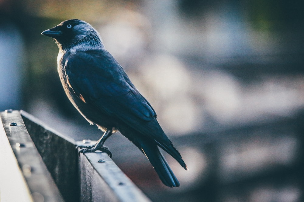 shallow focus photography of black bird