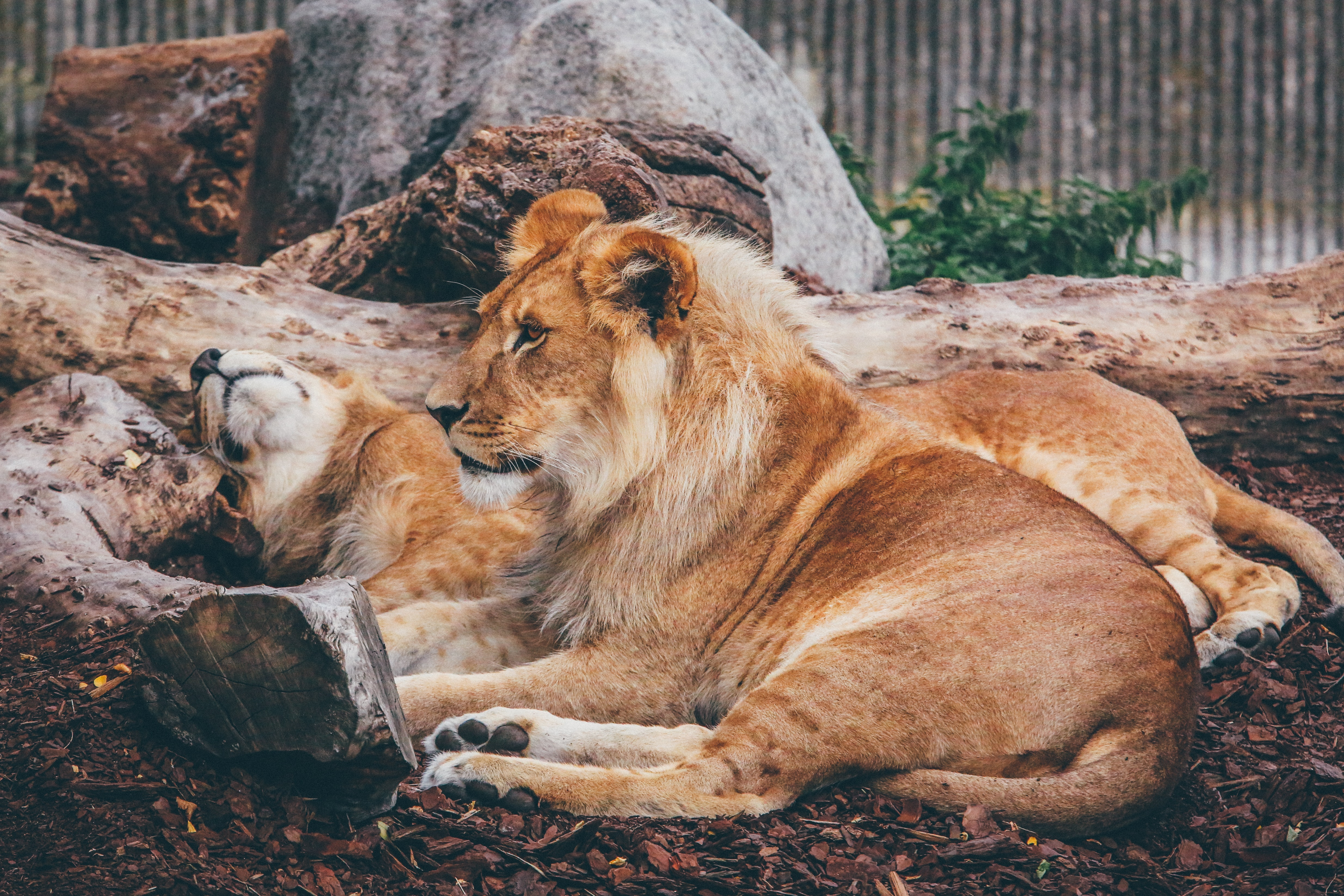 Two lions reposing on the ground near a tree trunk in the Copenhagen Zoo