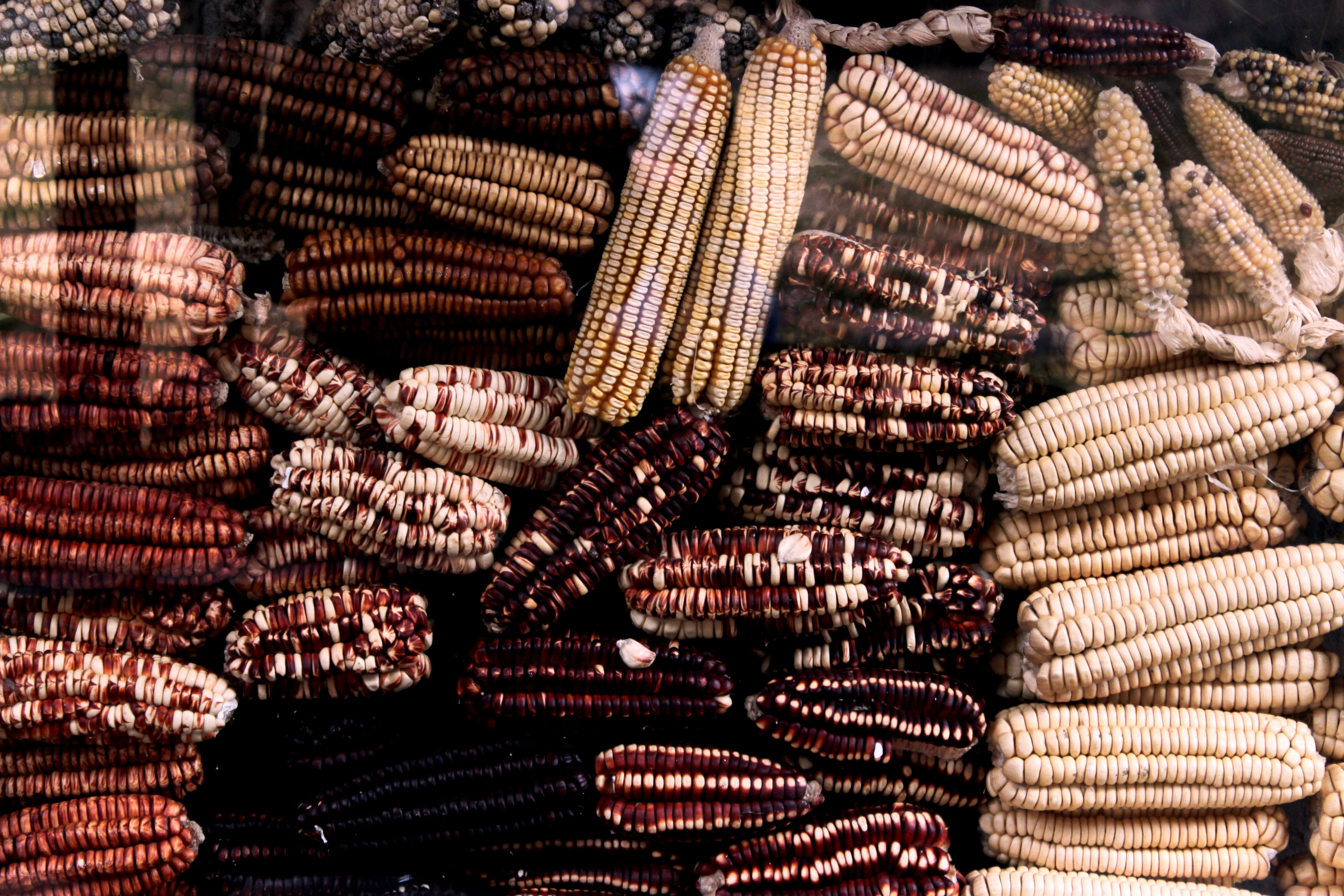 Dried out ears of corn that have turned colors in Urubamba Province