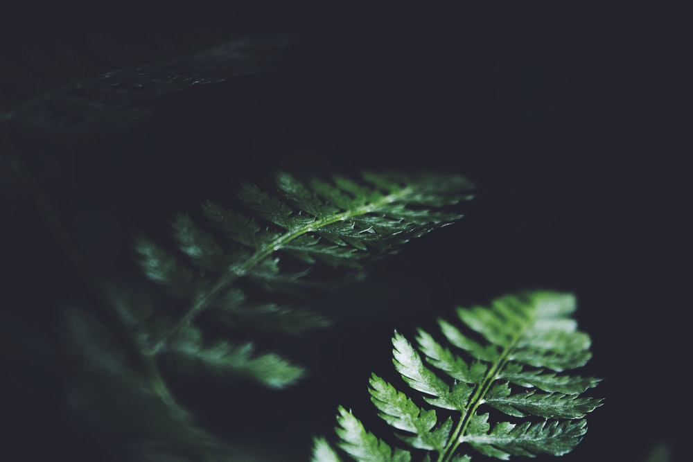 green fern plant with black background